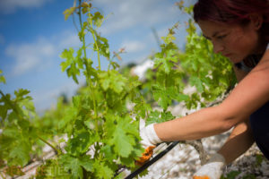 Route des vins de Thrace - Vignoble turc, vignes