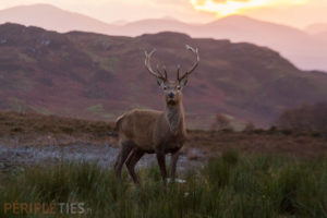Cerf rouge highlands Ecosse